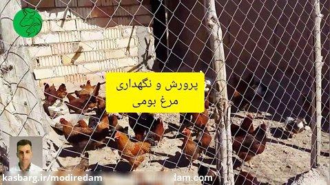 پرورش و نگهداری مرغ محلی