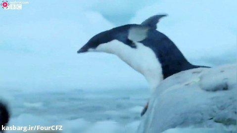 مستند حیات وحش - چگونه پنگوئن ها برای زنده ماندن سازگار می شوند