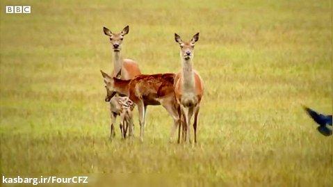 کلیپ حیوانات ::: نشانه گذاری گوزن جوان توسط محیط بان