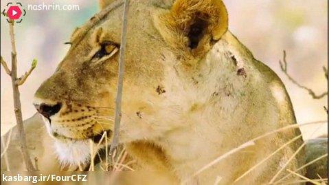 صحنه هایی از شکار کردن شیرها در طبیعت
