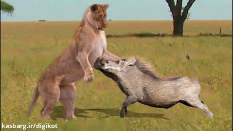 حیات وحش، حمله گراز به شیر/تلاش شکار برای بقاء در مقابل شکارچی