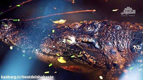 کلیپ حیات وحش _ این بزرگترین تمساح است که تا کنون یافت شده است_ بسیار بزرگ