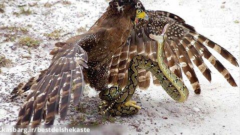 جنگ حیوانات وحشی 2021 _ مار بزرگی که پای عقاب را در دست گرفته است